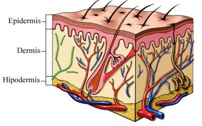 Skóra – największy narząd człowieka