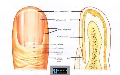 Budowa paznokcia